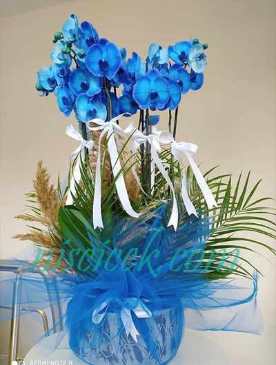 Seramik Saksıda 4 Köklü Mavi Orkide - Ürün Kodu:665