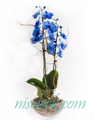 Cam Akvaryumda İki Köklü Mavi Orkide - Ürün Kodu:661