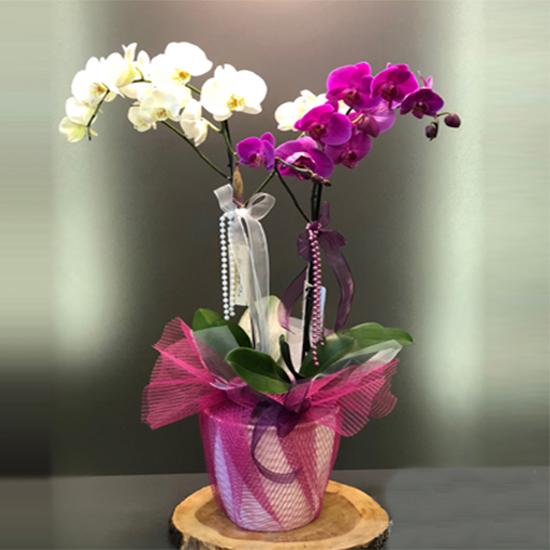 Seramik Saksıda Fuşya Beyaz Orkide