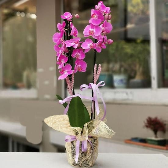 Seramik Saksıda Çift Dallı Fuşya Orkide